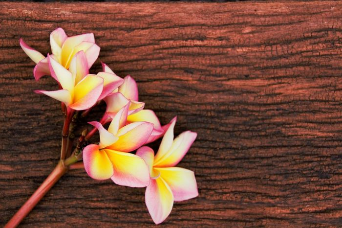 Bangkok Thailand. Plumeria Textures and Surfaces Thai Style Wooden Fench Thailand Photos Background Backgrounds Beauty In Nature Close-up Day Flower Flower Head Fragility Freshness Nature No People Outdoors Petal Plumeria Blossoms Plumeria Flowers Temple Tree Temple Tree Flowers Thailand_allshots Wood - Material Wooden