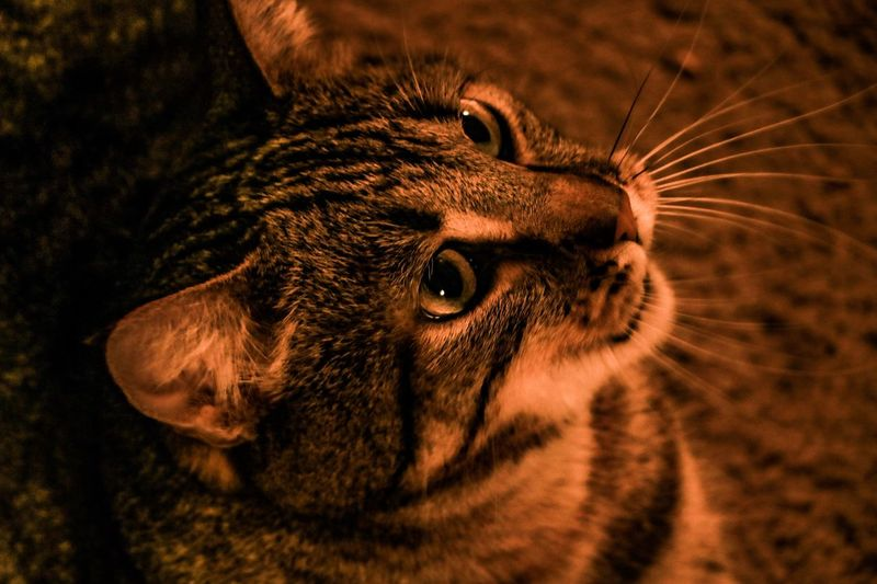 EyeEm Selects Mammal One Animal Animal Themes Animal Domestic Animals Pets Vertebrate Domestic Animal Body Part Feline Cat Close-up Animal Head  No People Indoors  Whisker Domestic Cat Looking Portrait Looking Away