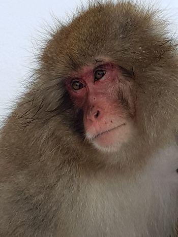 snow monkey Monkey Animal Wildlife Animals In The Wild