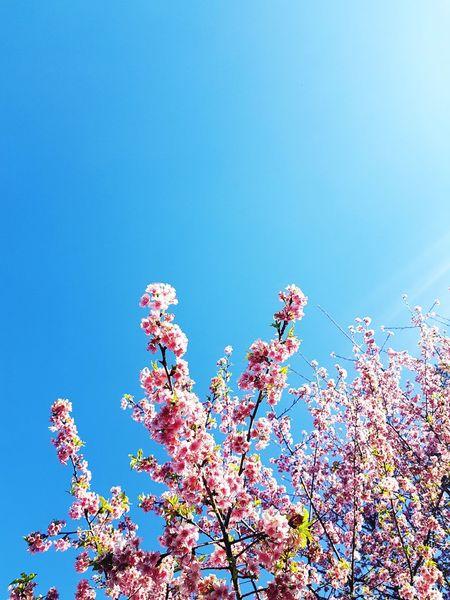 Winter Sakura in Brazil 🌸 Sakura Blur Sky Clear Sky Flower Blue Tree Multi Colored Sky Cherry Blossom Petal Blossom