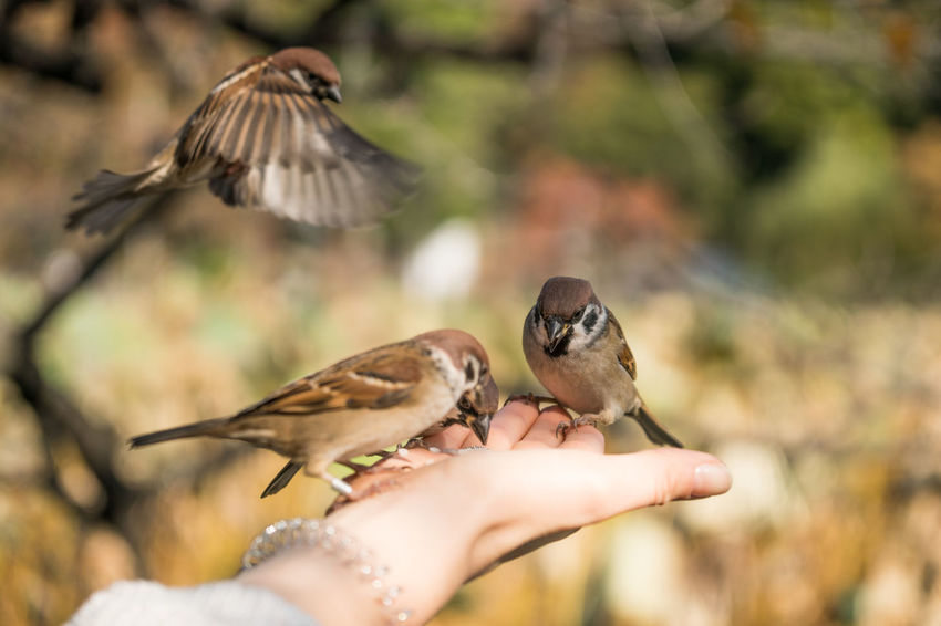 Adult Adults Only Animal Themes Animal Wildlife Animals In The Wild Bird Close-up Day Focus On Foreground Great Tit Human Body Part Human Hand One Person Outdoors People Perching Sparrow