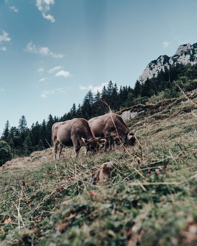 Animal Animal Themes Plant Domestic Animals Animal Wildlife Livestock Group Of Animals Grass Nature Cows Cows In A Field Cows!!! Cows🐮 Swiss Alps Swiss Mountains Swissalps Swiss