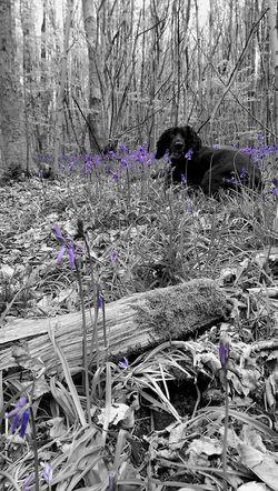 WoodLand Dog Bluebells Forest Photography Forestwalk Woodland Walks Woodland Flowers Nature Photography
