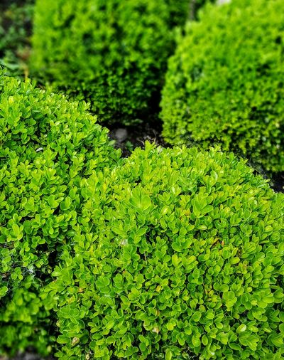 Green Color Growth Plant Backgrounds Beauty In Nature Selective Focus Freshness Nature_collection Nature Lover Nature Photography Green Nature Green Leaves Colour Of Life Textures In Nature Trees And Nature Textures Biddulph Grange Gardens Staffordshire UK Box Balls Boxus Color Palette Col