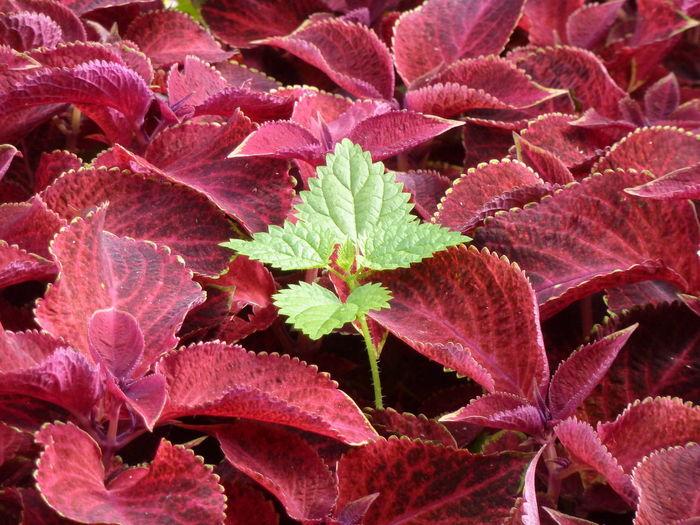 Full Frame Shot Of Red Leaves