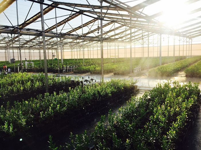 Morning irrigation Greenhouse Growth Plant Plant Nursery Agriculture Indoors  Berries Working Netafim NetafimMX Hightech Sprinklers Growing Abundance No People Horticulture Day Green Color Flower Beauty In Nature Freshness Botanical Garden GrowMoreWithLess