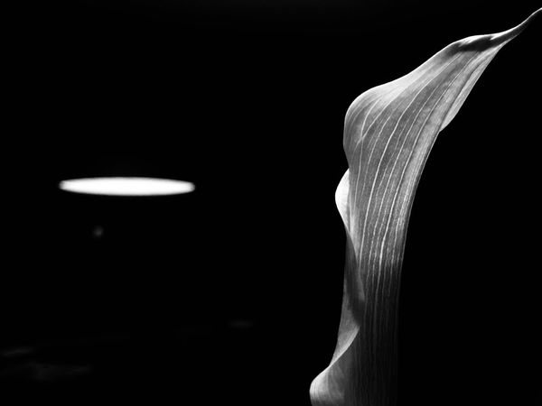 Black And White Calla Flower Head Black Background Indoors  No People Illuminated Studio Shot Close-up Nature Day