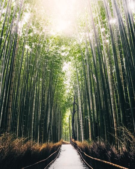 My Kyoto Adventure (2/3) The Week on EyeEm Kyoto Japan Eyeemphotography EyeEm Best Edits EyeEm Selects EyeEmBestPics EyeEm Nature Lover EyeEm Best Shots Bamboo Grove Bamboo - Plant Nature The Way Forward Beauty In Nature Growth Tranquility Tree Outdoors Day No People Forest Sunlight