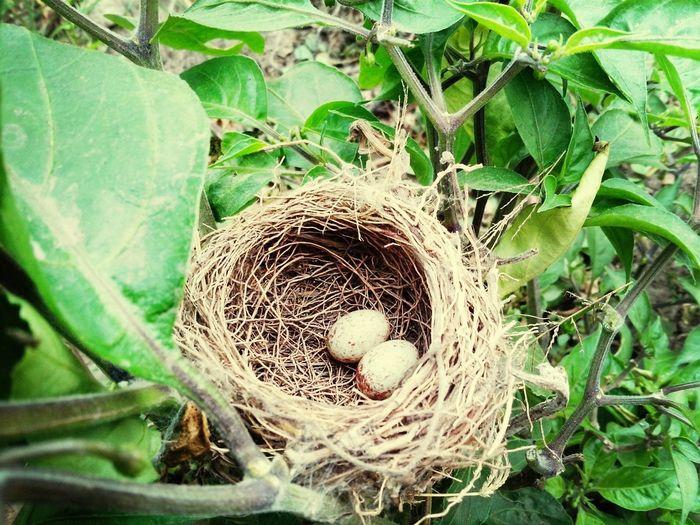 Nido de aves en una planta de Capsicum Olericulture