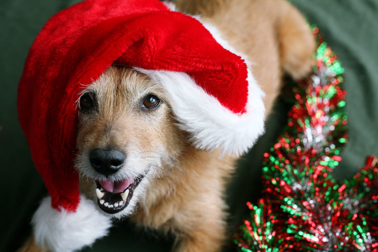 Cute dog in a santa hat with a happy smile on her face Christmas Happy Hat Santa Hat Animal Canine Cute Dog Laugh Lying Down One Animal Scruffy Smile Terrier