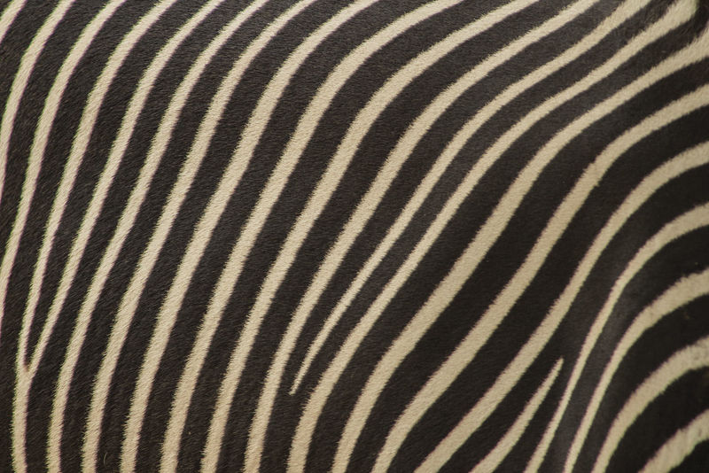 EyeEm Best Shots EyeEm Nature Lover EyeEm Gallery EyeEmBestPics Stripes Zebra Abstract Animal Animal Markings Animal Wildlife Background Photography Background Texture Black And White Close-up Continuous Eye4photography  Fur Pattern Pelt Skin Striped Stripes Pattern Texture Textured  Textured Effect
