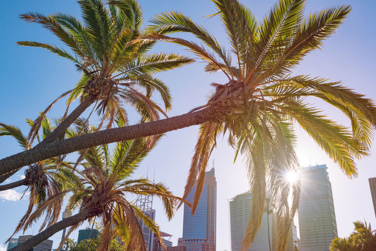 Palm trees with sun star and modern skyscrapers on the background. Sydney, Australia Palm Tree Tree Exotic Tropical Australia Nsw New South Wales  Sun Sydney Architecture Cityscape Palms Plant Skyline Skyscraper Sun Star Sunbeam Ray Urban POV Sunny Day City CBD