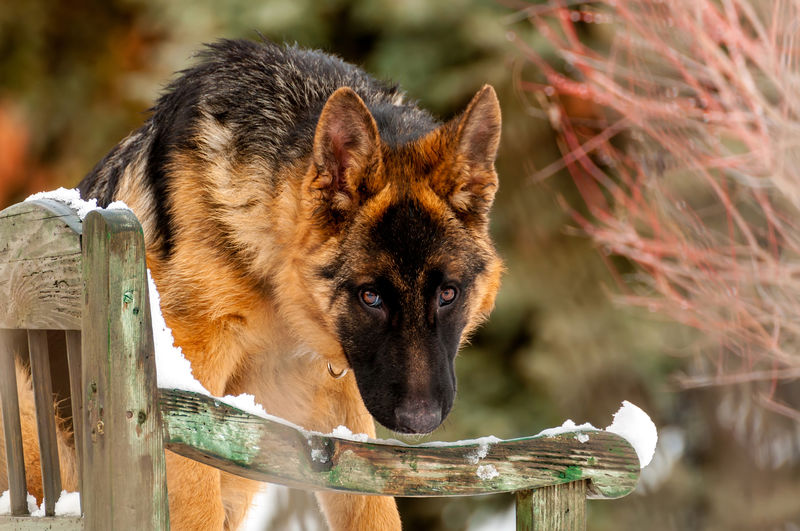 A beautiful playful german shepherd puppy dog standing on a wooden bench at winter. Animal Themes Animal One Animal Mammal Vertebrate Focus On Foreground No People Day Domestic Animals Dog German Shepherd Bench Wooden Standing Playful German Shepherd Puppy GSD Winter Pine Tree Christmas Snow Snowfall Leash