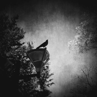 """Eyeemphoto """"where we come from the birds sing a pretty song and there is always music in the air."""" Darkness And Light Blackandwhite NEM Black&white Black And White Blackandwhite Photography Birds Of EyeEm  Twinpeaks"""