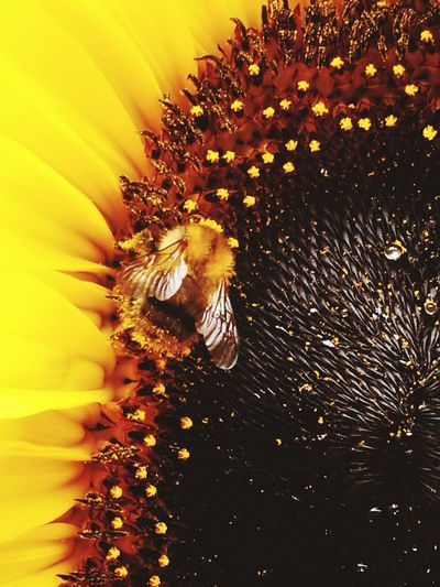 Close-up of bee pollinating on sunflower