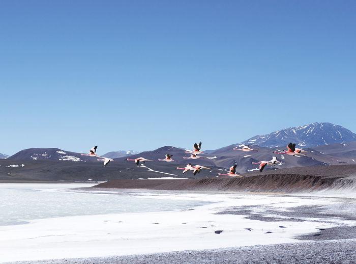 Flamingoes Flying Over Lake Against Blue Sky