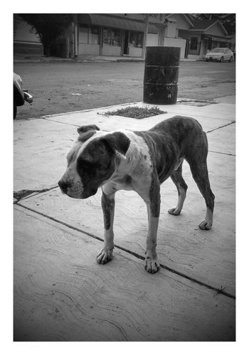 Dog Streetdog Pitbull Dogs Of EyeEm Dog Photography Streetdog pitbull, every day waits for me at lunch time to eat something
