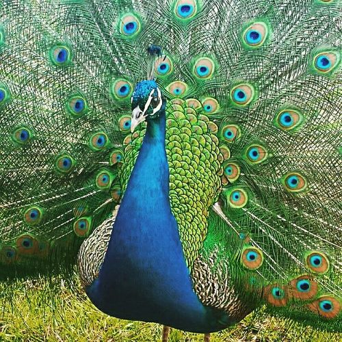 Lui é Jerry Animal Photography Pavone Colors Beautiful Animal Natural Beauty Amazing Picture Foto Peacock