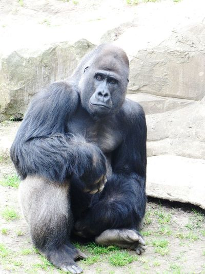 Gorilla Gorillas Wild Animal Zoo Animals  Animals Animal Zoo Taking Photos Apes Monkeys