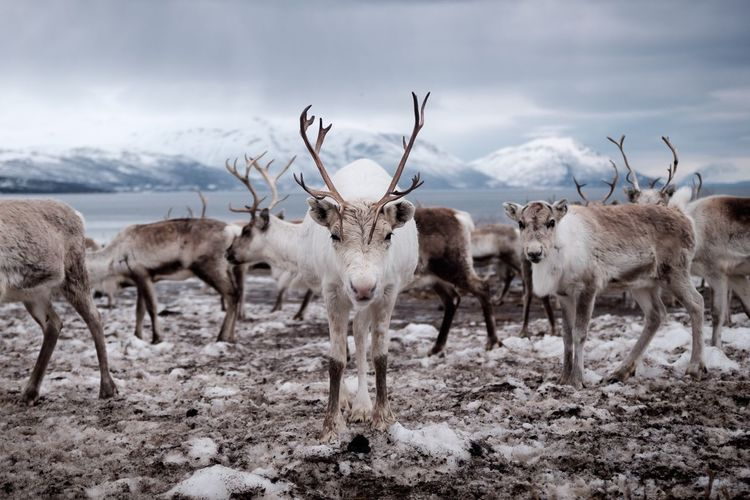 Herd Of Reindeer On Field Animals In The Wild Animal Wildlife Group Of Animals Animal Themes Animal Mammal Santa Claus Winter Horn Tromsø Norway Reindeer Herd Herd Of Reindeer Domestic Animals Land Cloud - Sky Vertebrate No People Large Group Of Animals Livestock