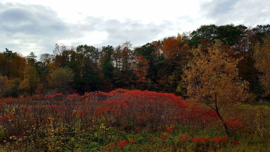 Fall Glory Autumn Glory Fall Foliage Autumn Colours Trees And Sky Yellow Leaves Red Leaves Orange Leaves Freshness Autumn Outdoors Cloud - Sky Tree Nature Day No People Scenics Landscape Red Growth Sky Beauty In Nature Sumac Tree Lost In The Landscape Ontario, Canada