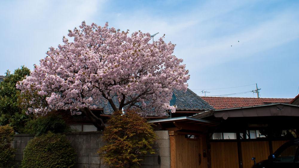 Flowers Flower Flowerporn Flower Collection Flower Porn Cherry Blossoms Japanese House Home Garden Garden