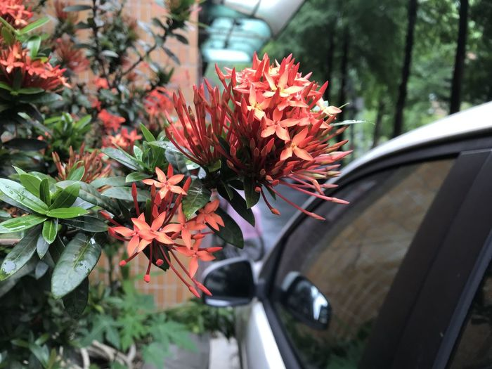 Plant Car Motor Vehicle Mode Of Transportation Land Vehicle Flower Flowering Plant Transportation Nature Growth Vulnerability  Day Fragility Red Beauty In Nature Close-up No People Selective Focus Freshness Green Color Outdoors Flower Head Flower Pot