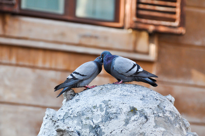 Animal Italy Kids Kisses Love Lover Pigeon Pigeons Road Romance Romantic Statue Window Fine Art Photography On The Way Two Is Better Than One