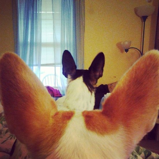 My favorite ears. Chihuahua Fourleggedchild Teacupchihuahua Shebagram tinydog petstagram dogstagram dogsofinstagram jackchi dog bitztagram bitzyandsheba