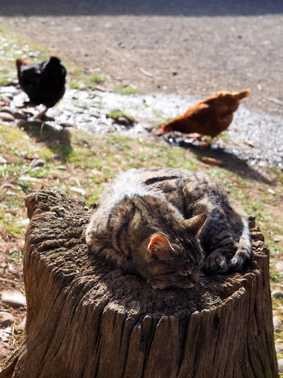 At open-air museum Kommern in the Eifel area in Germany. Animal Animal Themes Group Of Animals Cat Domestic Cat Pets Bird Wood - Material Domestic Animals Nature Day No People Feline Domestic Mammal Relaxation Sunbathing Chicken Relax Farm Picking Sneaking Sleeping Idyllic Organic