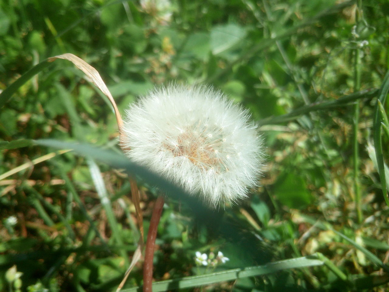 growth, nature, fragility, flower, plant, dandelion, softness, beauty in nature, outdoors, freshness, day, uncultivated, close-up, no people, flower head