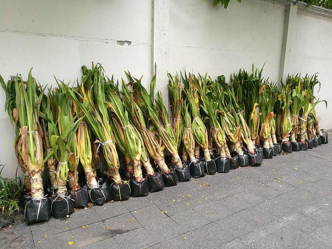 sapling Agriculture Sapling Tree Plant Row Preparation  Grow