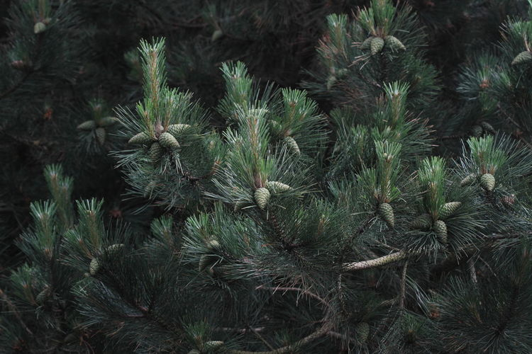 Low angle view of pine tree