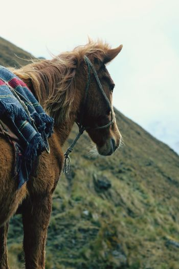 Pack horse on the lares track in peru