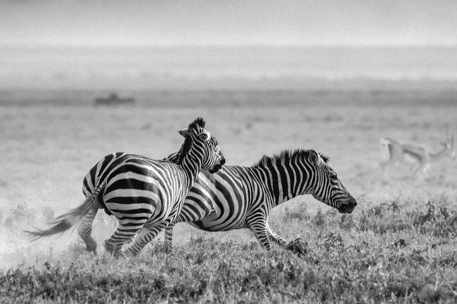 Africa African Safari Animal Themes Animal Wildlife Animals In The Wild Beauty In Nature Biology Day Grass Mammal Nature Nature Nature Reserve Ngorogoro No People Outdoors Safari Animals Serengeti Serengeti National Park Striped Tanzania Wildlife Zebra