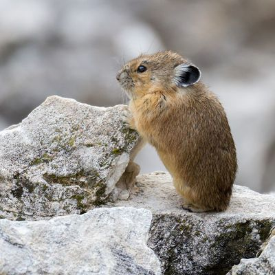 A young Pika using a rock to examine it's surroundings