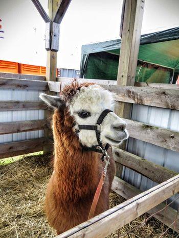 Llama 11488866 Farm Animal Close Up Llama Animals Of Eyeem cute Cute Animals Pet Portraits
