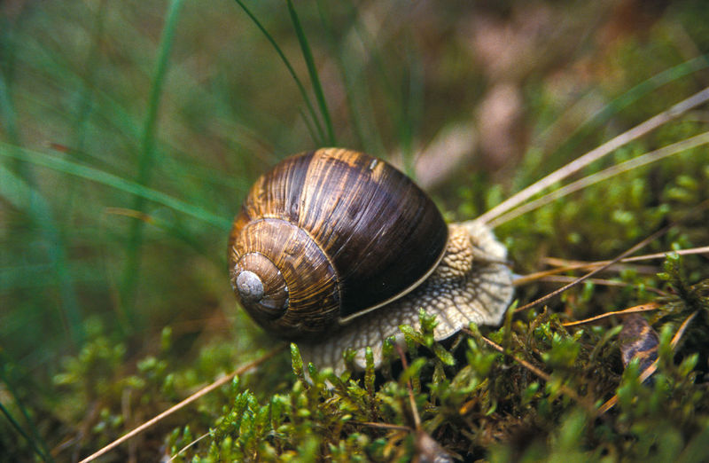 Animal Themes Animals In The Wild Close-up Day Fragility Gastropod Grass In Forest Nature No People One Animal Outdoors Shell Snail Snail Shell