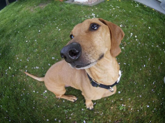 Animal Head  Dachshund Dackelblick Dog Dogs Domestic Animals Fisheye Grassy Pets