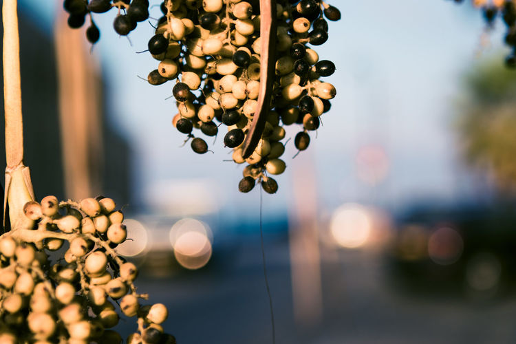 Dates or olives growing on a branch near a road in the city