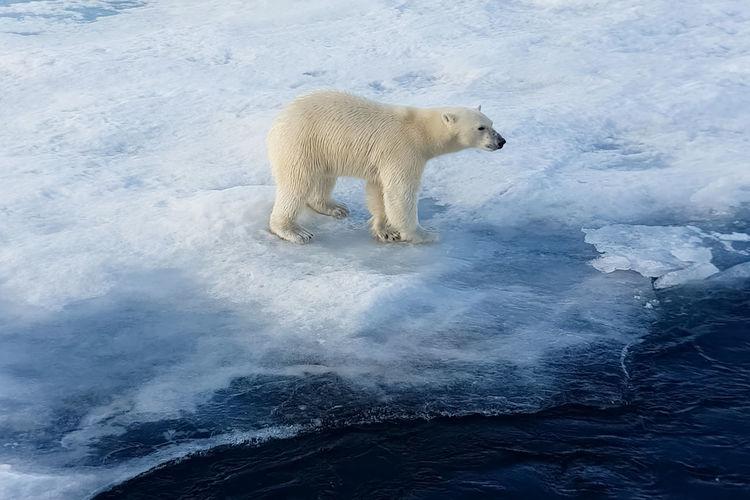 Polar bear standing on frozen lake