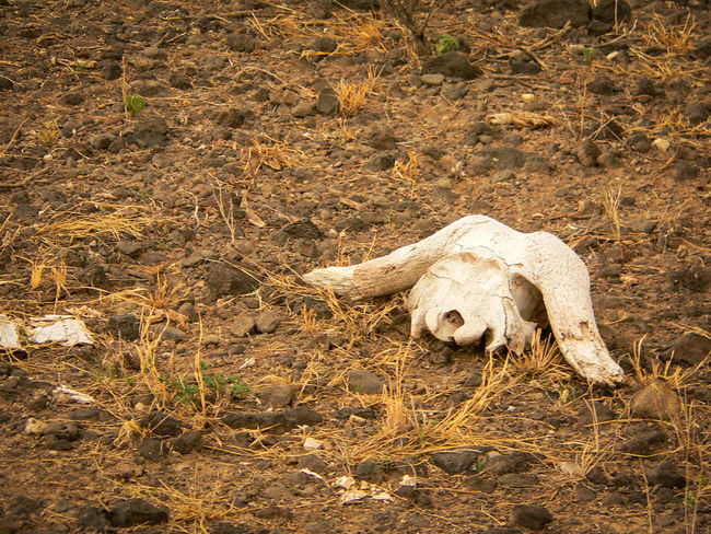 Shaba National Reserve in Northern Kenya - Buffallo Skull Buffalo Kenya National Park The Week On EyeEm Africa Animal Bone Animal Skeleton Animal Skull Animal Themes Bone  Day Nature No People Outdoors Safari Travel Destinations