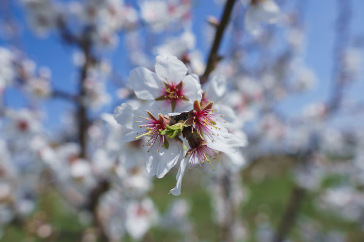 Flower Flowering Plant Plant Fragility Vulnerability  Freshness Growth Beauty In Nature Blossom Tree Close-up Petal Pollen Cherry Blossom Nature Springtime Day Branch Flower Head Botany No People Outdoors Cherry Tree Spring