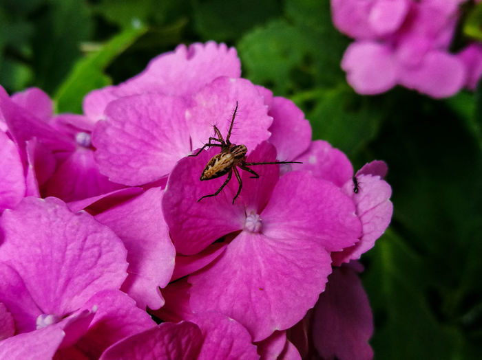 A wolf spider on a Japanese hydrangea Insect On A Flower Nature Japanese Hydrangea Hydrangea Wolf Spider Flower Flower Head Pink Color Insect Petal Animal Themes Close-up Plant Spider Jumping Spider