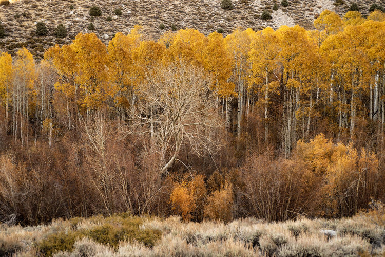 Aspen trees in autumn Sierra Nevada mountains of California Tree Autumn Plant Land No People Yellow Nature Beauty In Nature Scenics - Nature Day Tranquility Tranquil Scene Growth Change Field Landscape Non-urban Scene Environment Outdoors Grass Aspen Trees Autumn Leaves Aspen Groves Autumn🍁🍁🍁