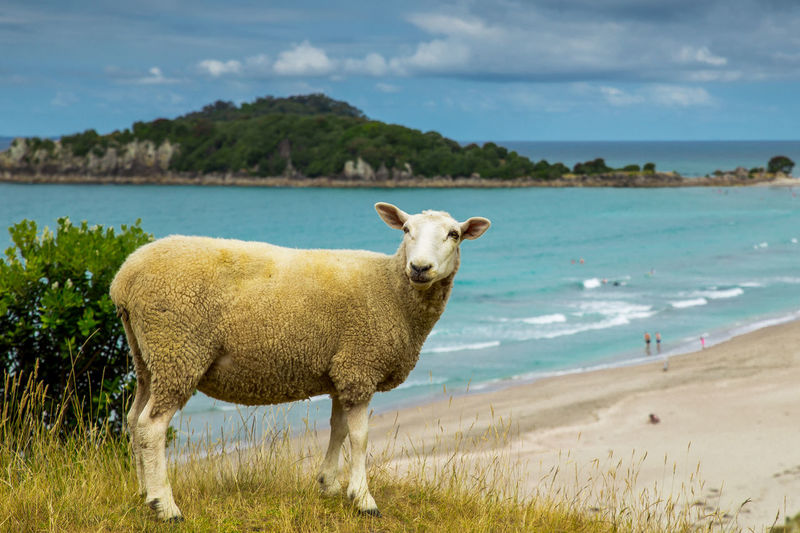 New Zealand sheep near the beach in Tauranga town Water Land Animal Sea Animal Themes Sky Domestic Animals Beach Nature Livestock One Animal Day Outdoors Grass Shadow New Zealand