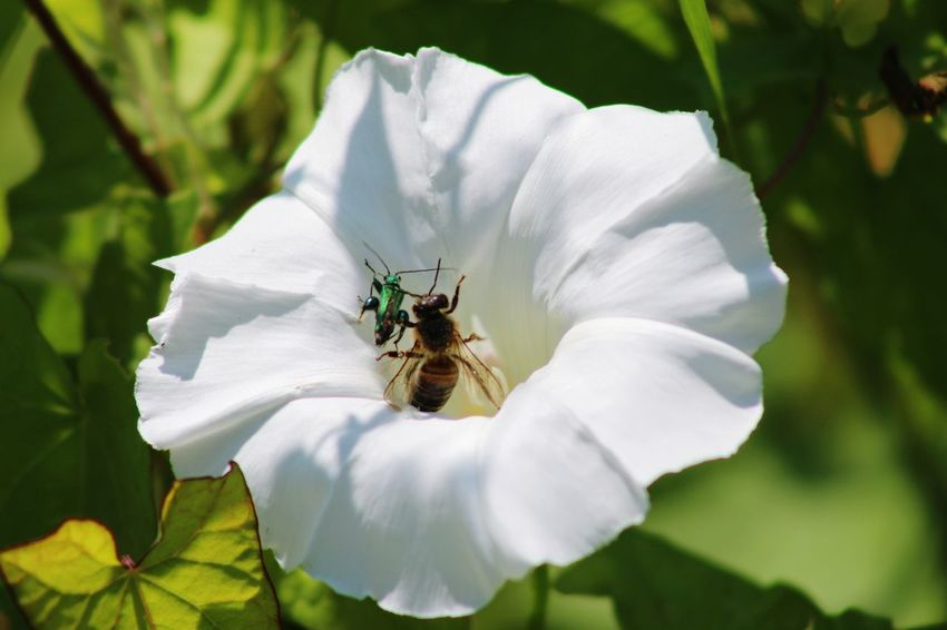 Nature Nature_collection Beauty In Nature Hedge Row Beauty EyeEm Selects Flower Bee Flower Head Insect Pollination White Color Close-up Plant Honey Bee Symbiotic Relationship Buzzing