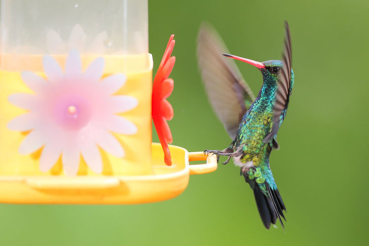 Animal Themes Flower Animal One Animal Flowering Plant Animals In The Wild Plant Animal Wildlife Close-up Nature Hummingbird Freshness No People Beauty In Nature Selective Focus Focus On Foreground Bird Vertebrate Yellow Day Outdoors Flower Head