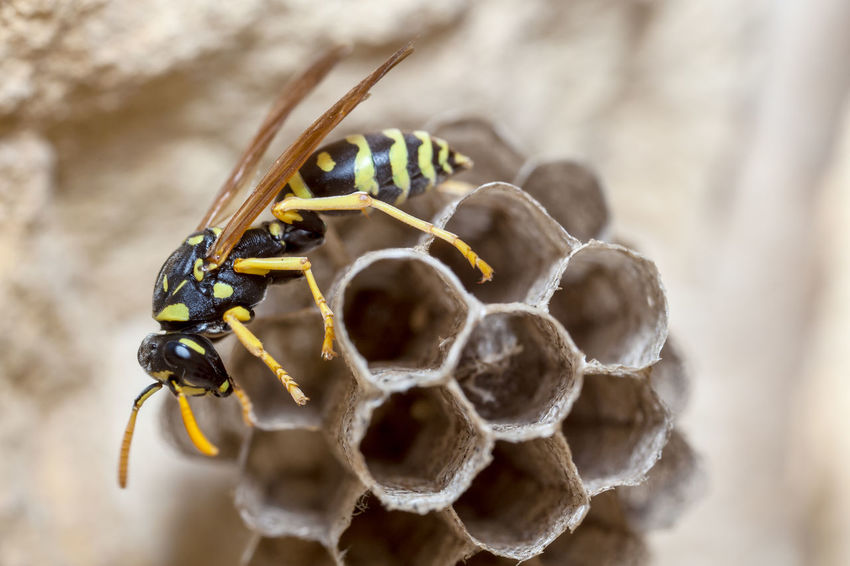 Paper Wasp building Nest Macro Photography Nesting Paper Wasp Animal Themes Animal Wildlife Animals In The Wild APIculture Bee Beehive Buzzing Close-up Day Honey Honey Bee Honeycomb Insect Macro Nature Nest No People Oculii One Animal Outdoors Paper Wasp Nest