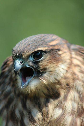 Bird Birds Of Prey